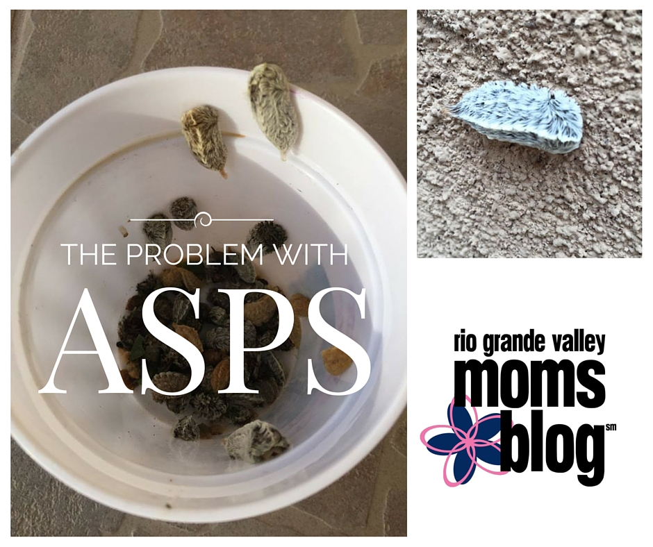 Asps Spotted in the RGV, Beware of Their Sting